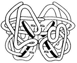 Haemoglobin1